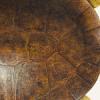 A.J.B. Vaillant. Podocnemis de Lewy – Podocnemis lewyana, 1851, Collection des vélins, portefeuille 87, fol. 29 bis